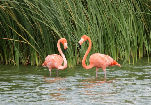Leo Roze Flamingo's in Curacao