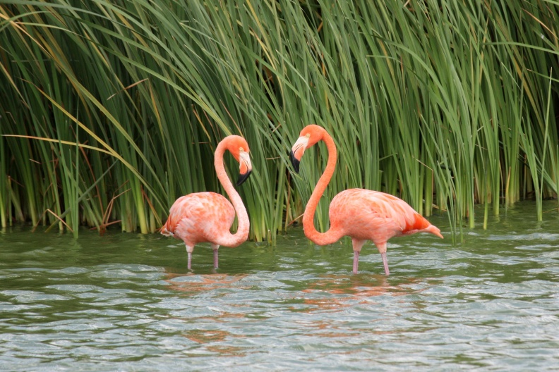 Roze Flamingo's in Curacao.jpg