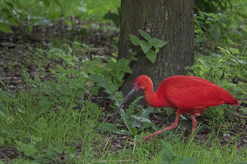 Rode Ibis -- Rode Ibes in Wateringen